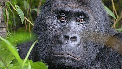 RDC : le Gorille de Grauer est en danger