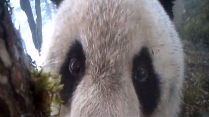 Что делают панды у себя дома?