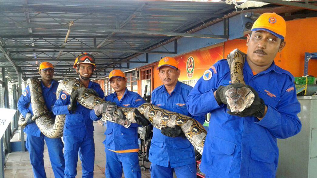 Malásia: Maior cobra do mundo capturada, pôs um ovo e morreu