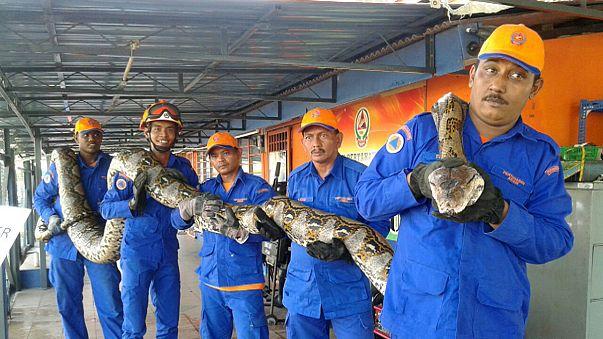 In Malaysia wurde die vielleicht größte Schlange der Welt gefangen