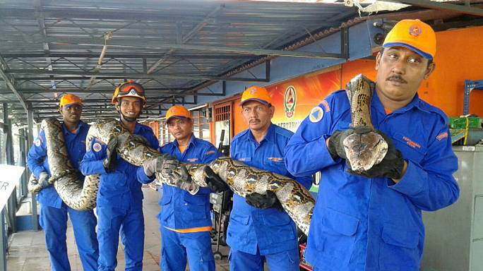 """В Малайзии """"задержан"""" питон длиной в 8 метров"""