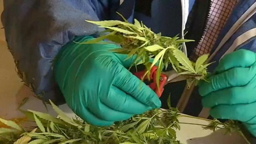 В Чили взошла первая легальная марихуана