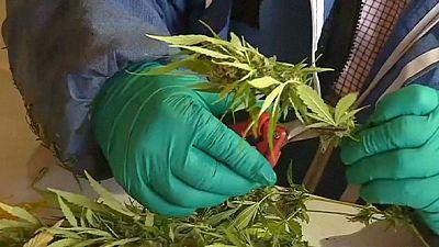 Marihuana-Ernte auf größter Plantage Lateinamerikas