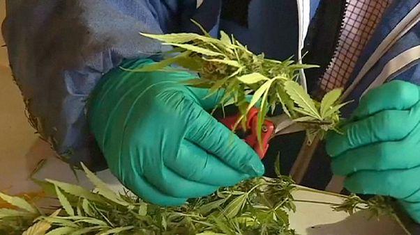 Kenevir çiftliğinde ilaç üretiliyor