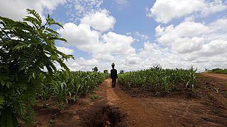 La situation d'insécurité alimentaire persiste au Malawi