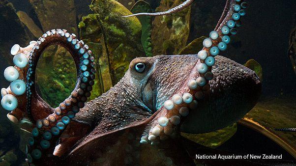 Nueva Zelanda, el pulpo Inky se escapa del acuario nacional
