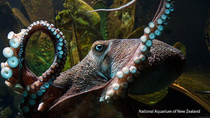 Осьминог сбежал из аквариума в океан