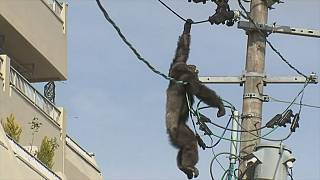 On-the-run chimpanzee's high wire act