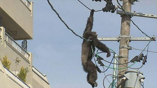 Шимпанзе взобрался на линию электропередачи