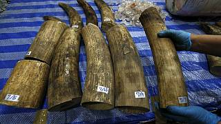 Malaysia destroys 9.5 tonnes of ivory