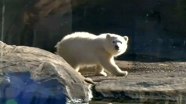 Jardim Zoológico de Ohio apresenta a ursa-polar bebé Nora