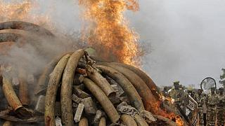 Cameroon burn over 6 tons of seized elephant ivories