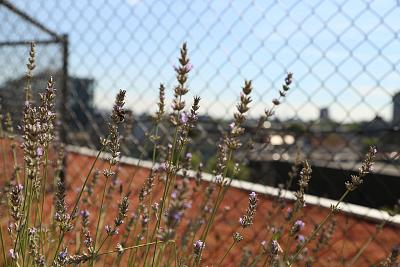 Bees find food and refuge at the rooftop garden at Zoku, a hotel in Amsterdam.