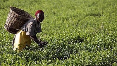 Le Kenya veut occuper la première palce en matière de production de thé