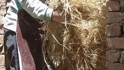 Égypte: une ONG recycle la paille de riz pour produire du papier
