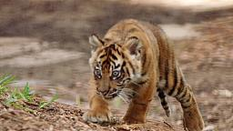 New home means new playground for tiger cubs