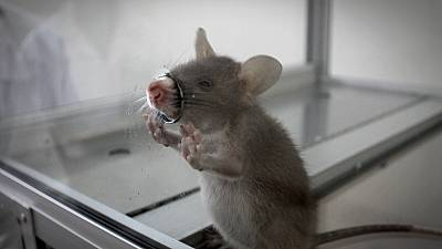 TB detecting rats helping save lives in Tanzania