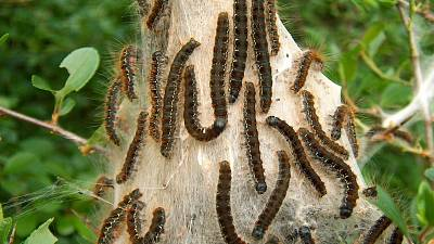 Armyworms invade Liberian Villages