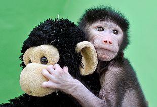 Un bébé babouin trouve le réconfort auprès de sa peluche