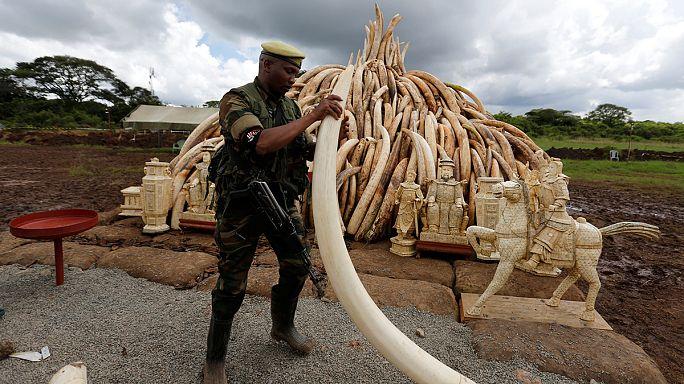 كينيا تحرق اكثر من مئة طن من أنياب الفيلة العاجية