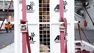Rescued circus lions returned to South Africa