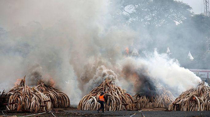 إحراق المئات من أطنان العاج في مدينة نيروبي في كينيا في محاولة لإيقاف الإتجار غير القانوني بأنياب الفيلة