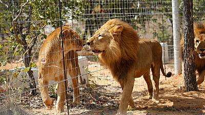South Africa: Rescued circus lions find new home in Emoya sanctuary