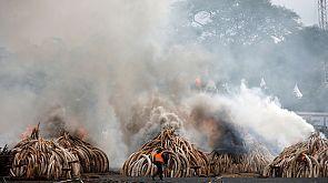 Kenia quema una ingente cantidad de colmillos de elefantes