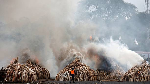 Kenya burns vast piles of elephant tusks