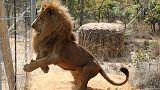 Los 33 leones maltratados en circos de Colombia y Perú ya son casi libres en Sudáfrica