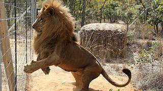 Circus lions rescued in South America arrive in new African home