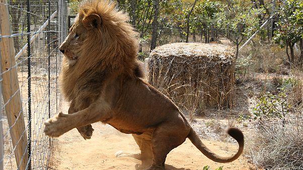 Per Charterflug ins Reservat - Zirkus-Löwen erstmals in ihrem Element
