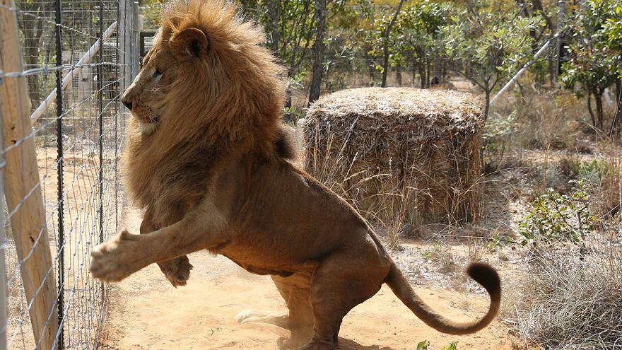 Um final feliz para 33 leões resgatados de circos na América Latina