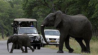 Situation d'urgence pour le Zimbabwe qui a mis en vente depuis ce mardi, des dizaines d'animaux de sa faune
