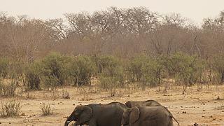Gabon: vers la résolution du conflit hommes-éléphants