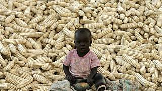 Good rains boost Zambia's maize output despite drought fears
