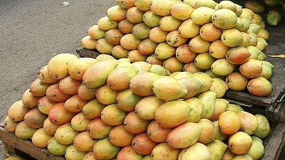 Le Kenya lutte contre la mouche des fruits