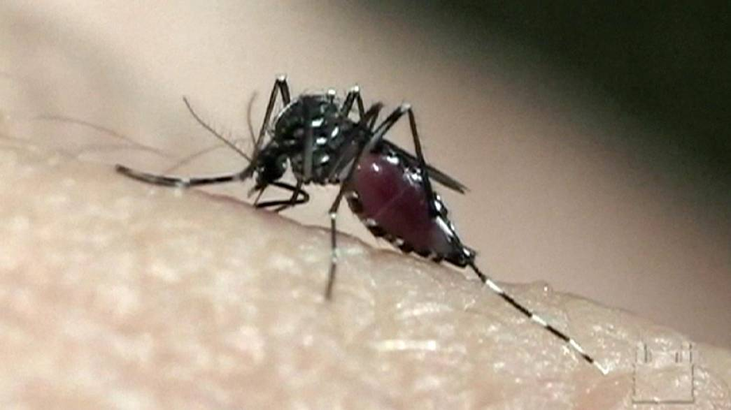 Turning mosquitos against themselves in the Zika virus war