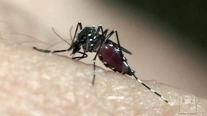 Szúnyogháború - vérszívókkal harcolnának a zikalázat terjesztő fajok ellen
