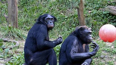 DRC moves against trafficking of Bonobo monkeys