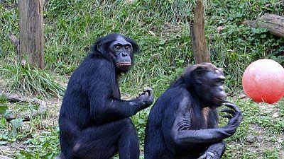 RDC : chassé-croisé contre le trafic des bonobos