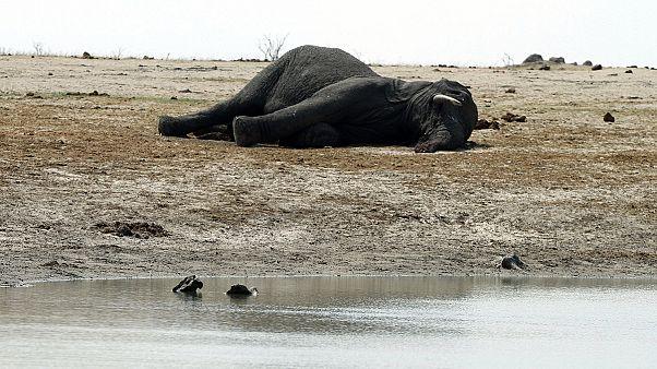 Oroszlán- és zsiráfakció Zimbabwéban