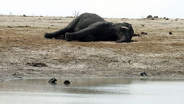 Zimbabve vahşi hayvanları satışa çıkarıyor