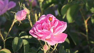 Así se fabrica la preciada agua de rosas