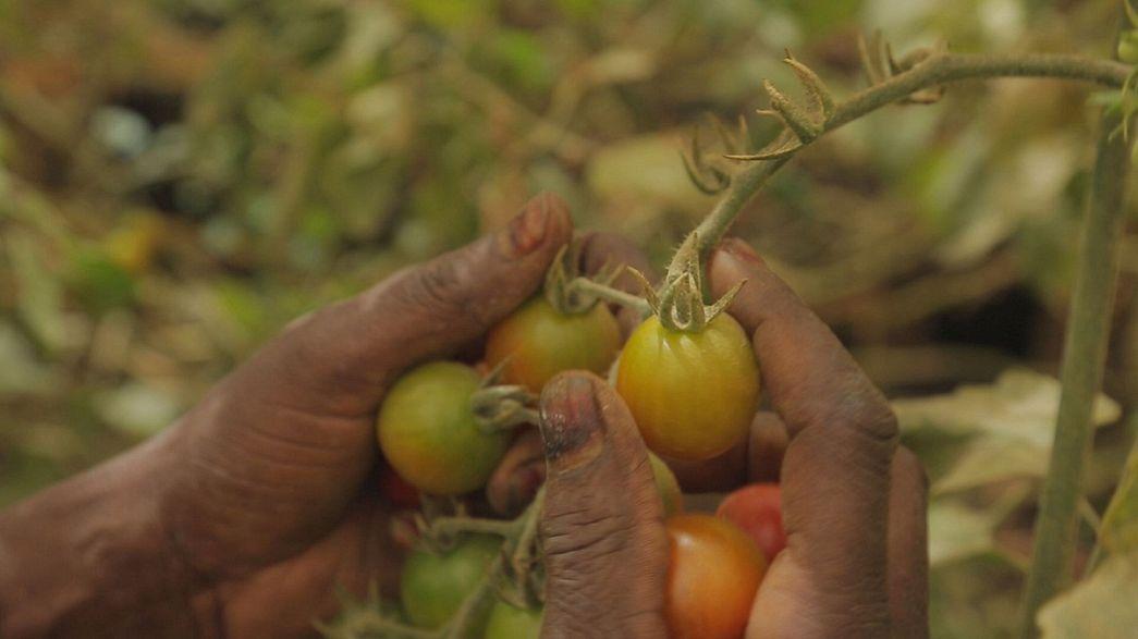 Mezőgazdasági bumm Szenegálban