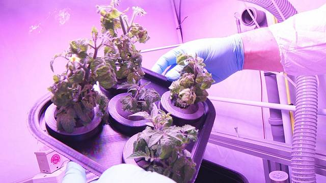 Growing food in space: A tale of rats, algae and tomatoes