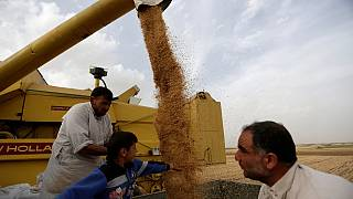 Egypt implements new guidelines to police wheat production