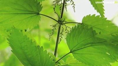 Secrets de plantes: l'ortie