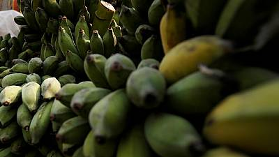 Genetically modified bananas solve Uganda's productivity problems