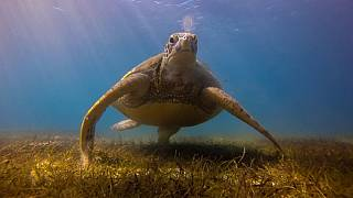 Conservationists to gather data about endangered marine turtles